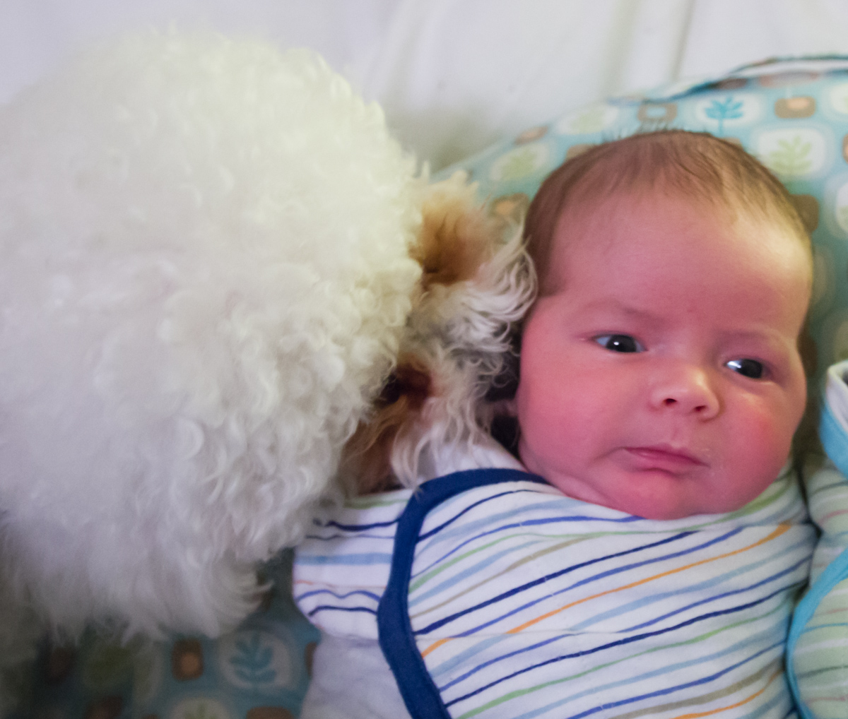 White bichon frise puppy sniffing baby boy Max's ear while he's swaddled on a Boppy