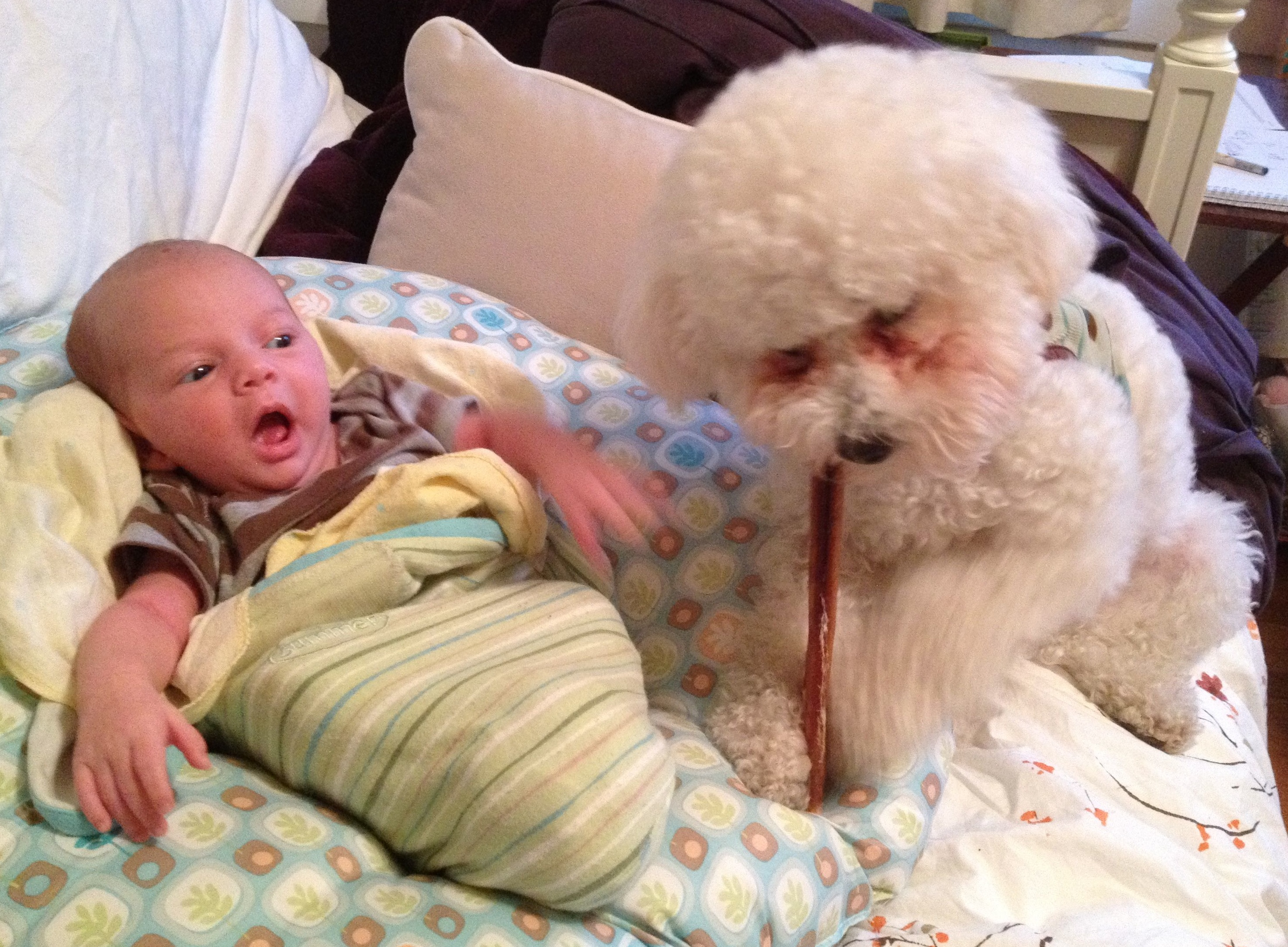 Baby boy Sam is swaddled on a Boppy, while a white bichon frise puppy chomps on a bully stick. Sam looks like he's talking to the dog.