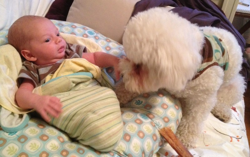 baby boy sam half-swaddled on a boppy, with a white bichon frise puppy sitting next to him. The puppy gives advice.