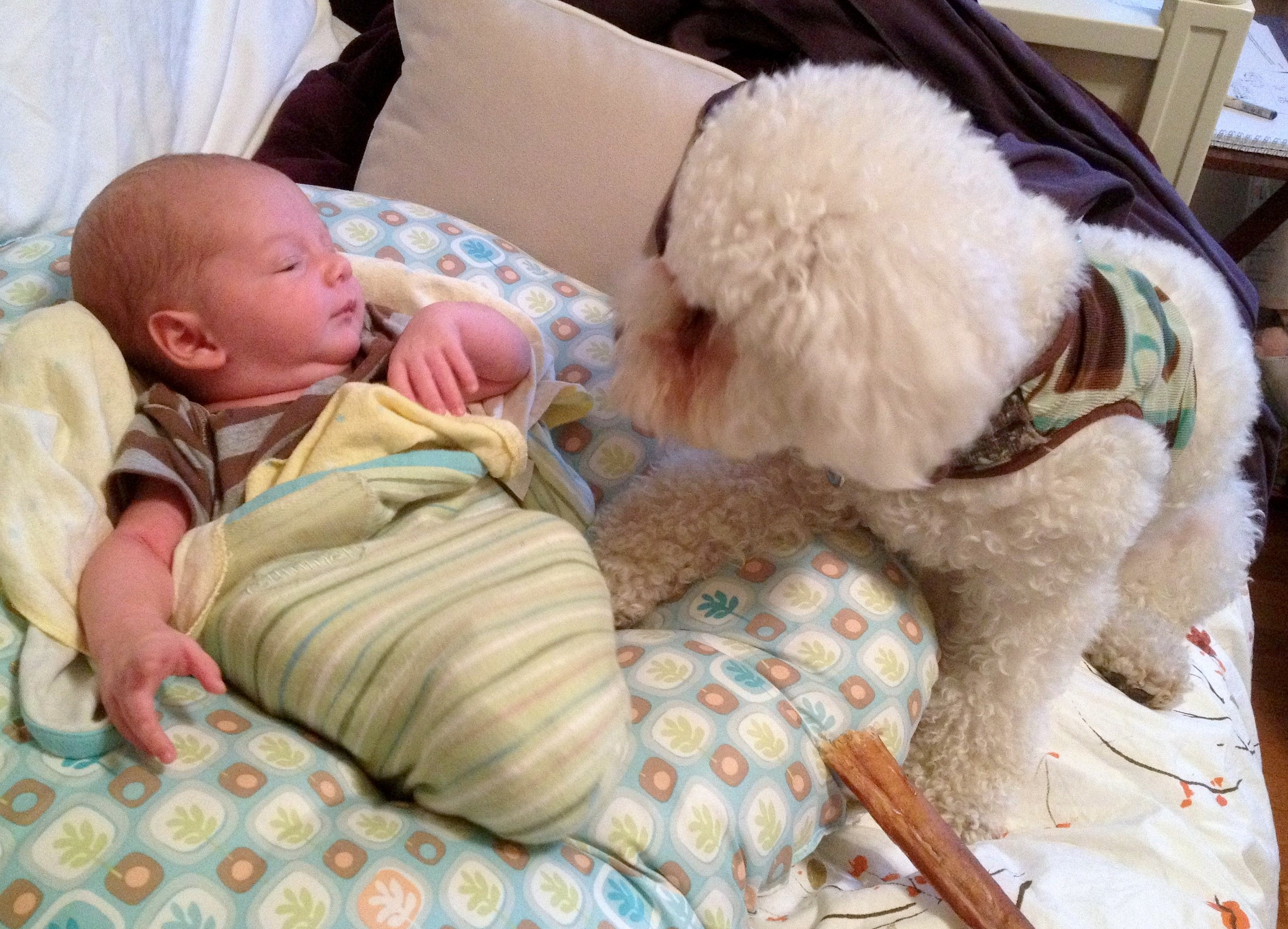 Baby boy Sam is swaddled on a Boppy, while a white bichon frise puppy sniffs his hand. Sam looks like he's talking to the dog.