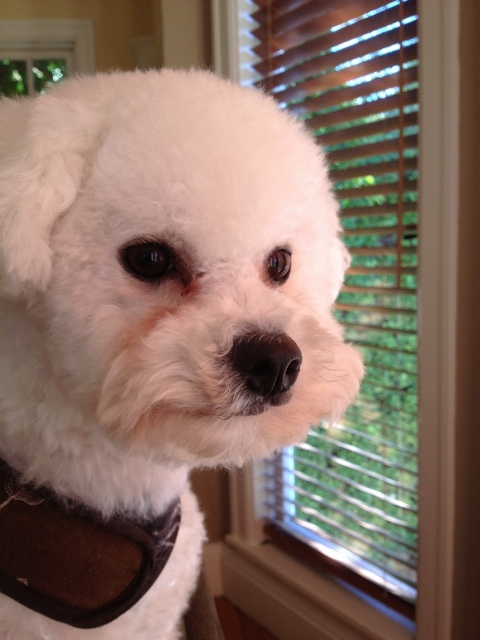 a white bichon frise sits on the back of a green sofa staring out a window with blinds thinking deeply abot the Westminster kennel club dog show