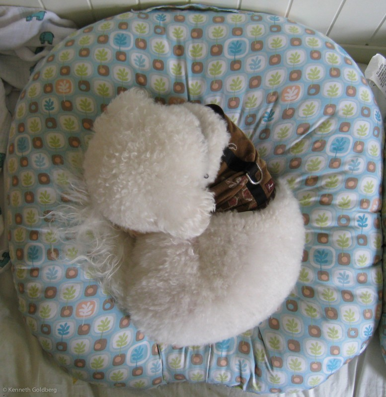 Bichon Frise in a Boppy Newborn Lounger