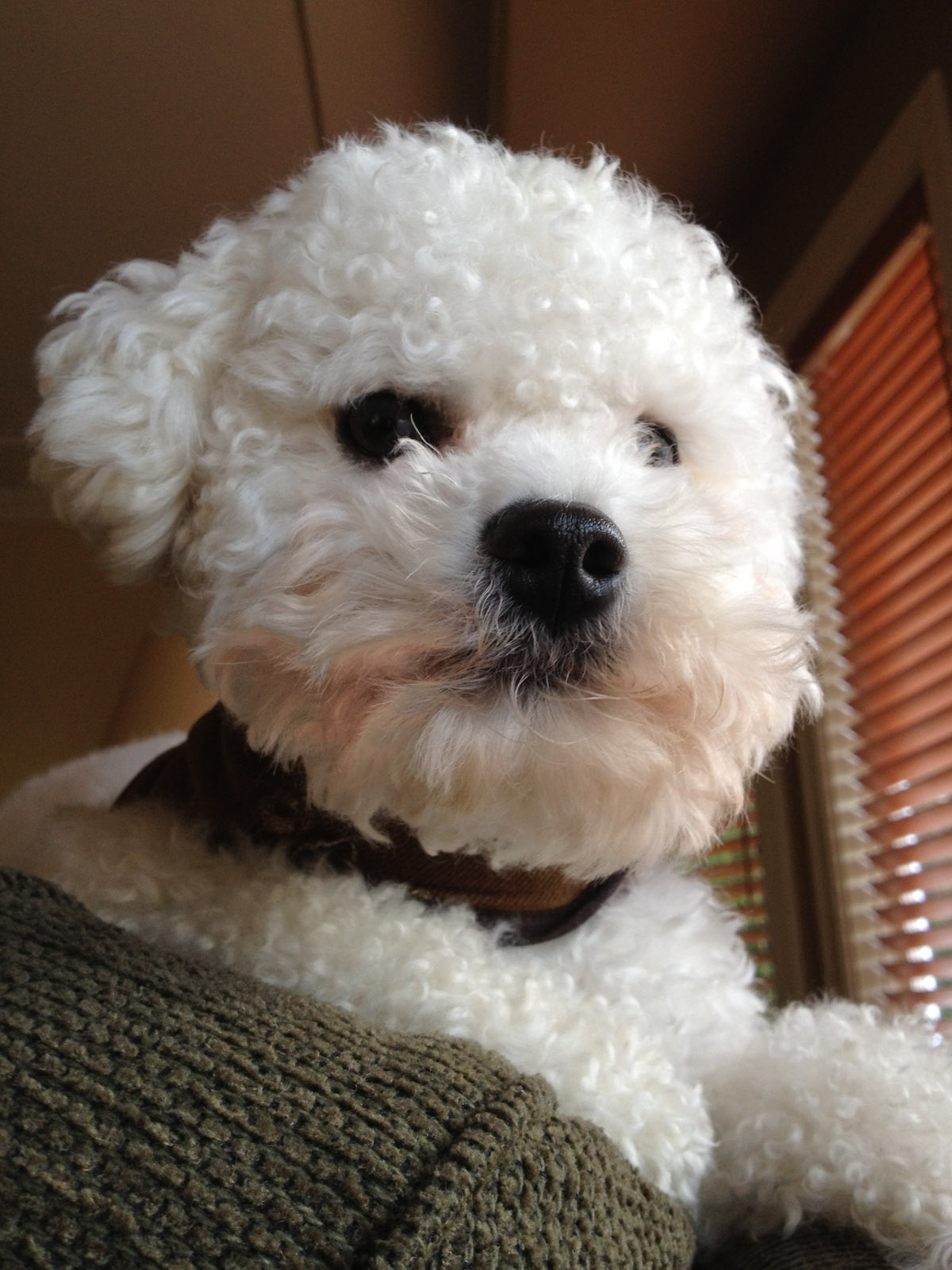 a close-up of a white bichon frise sits on the back of a couch, looking out the windows, guarding the house