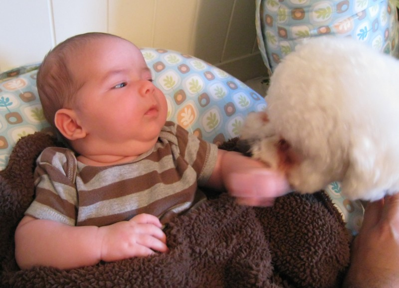 baby boy max wearing a striped shirt, sitting on a Boppy, talks with his older brother, a white bichon frise puppy