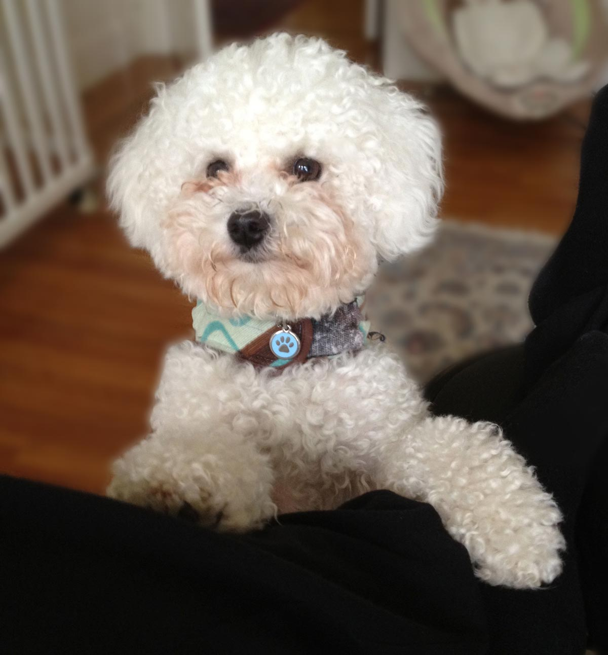 dog brother, a fluffy white bichon frise looks to climb up into Ken's lap