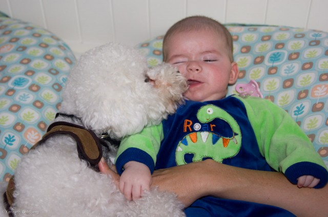 baby boy max wearing a dinosaur jumpsuit is licked by his flufy white bichon brother