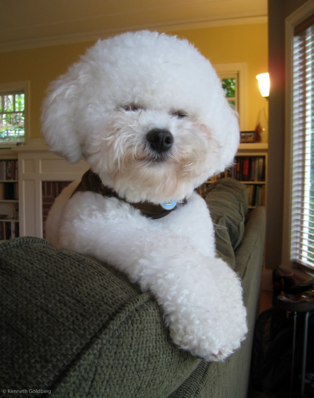 fluffy white Bichon Frise dog brother sits on the back of a sofa listening to the babies crying