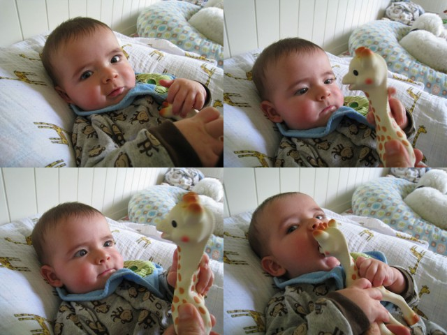 max studies at Sophie the Giraffe, then eats her
